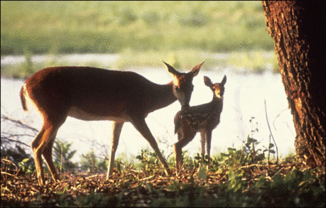 Mother_Deer